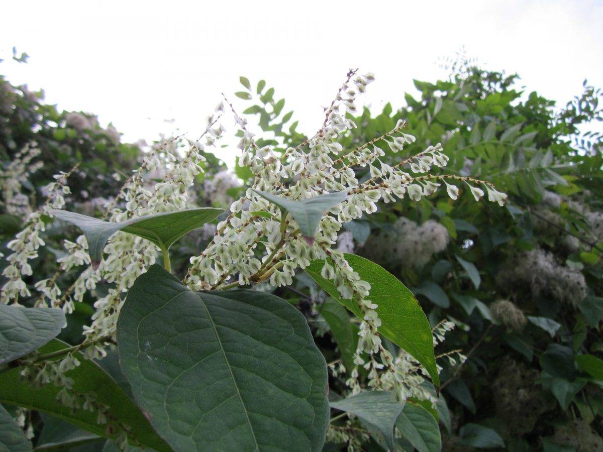 Japanese knotweed and selling your home
